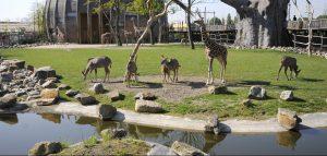 Afrika- Savanne met giraffen en koedoes Baobab- boom de UI Mei 2010 giraf